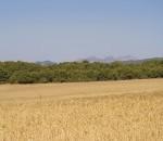 Conreu blat Plans de Bonvilar